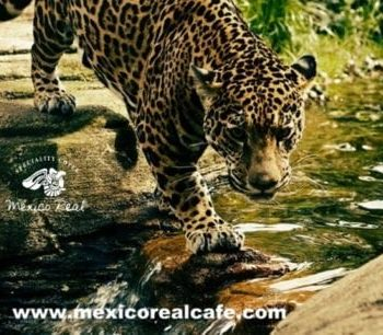 Mexico Real Cafe and Maya Elixir Arabica Coffee grow at the core of Mayan Rainforest home of Panthera Onca